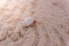 Sluit omhoog van een krab in de zeeschelp lopend op duidelijk wit zand royalty-vrije stock fotografie
