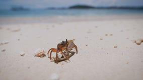 Sluit omhoog van een krab zacht-SHELL met klauwen die zich op het strand van tropisch eiland bevinden Gecarcinian op een witte ki stock videobeelden