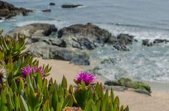 Sluit omhoog van een kustinstallatie die van de gronddekking in de lente bloeien Royalty-vrije Stock Foto