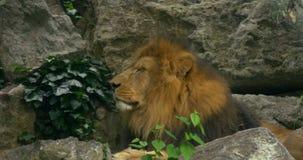 Sluit omhoog van een leeuw stock footage