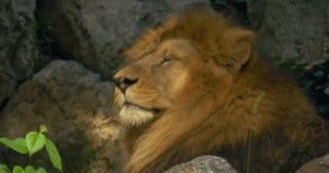 Sluit omhoog van een leeuw stock videobeelden