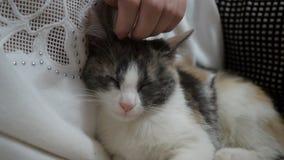 Sluit omhoog van een leuke slaap pot-kat in de handen van de vrouw stock videobeelden