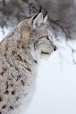 Sluit omhoog van een lynx in de winter Stock Afbeeldingen