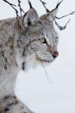 Sluit omhoog van een Lynx lopend in de sneeuw royalty-vrije stock foto