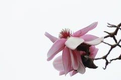 Sluit omhoog van een Magnoliabloei Stock Foto's