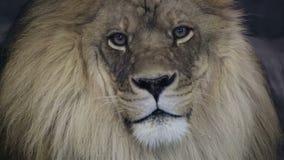 Sluit omhoog van een majestueuze mannelijke leeuw die in camera staren. stock videobeelden
