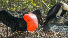 Sluit omhoog van een mannelijke en vrouwelijke prachtige frigatebird in de galalagoseilanden stock foto's