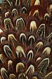 Sluit omhoog van een mannelijke pauw die zijn overweldigende staartveren tonen Royalty-vrije Stock Afbeelding