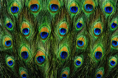 Sluit omhoog van een mannelijke pauw die zijn overweldigende staartveren tonen Royalty-vrije Stock Foto