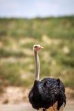 Sluit omhoog van een mannelijke Struisvogel Stock Foto