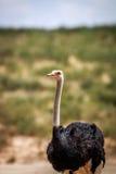 Sluit omhoog van een mannelijke Struisvogel Royalty-vrije Stock Fotografie