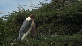 Sluit omhoog van een maraboeooievaar zich bevindt bij de bovenkant van een boom bij meerbogoria stock footage