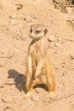 Sluit omhoog van een Meerkat Stock Foto's