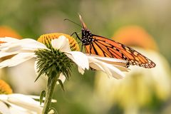 Sluit omhoog van een monarchvlinder zich bevindt in een margriet stock afbeeldingen
