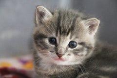 Sluit omhoog van een mooi grijs katjes hoofdportret met mooie blauwe ogen royalty-vrije stock afbeelding