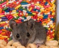 Sluit omhoog van een muis van het babyhuis voor kleurrijke suikergoedkoevoeten of schoten stock afbeeldingen