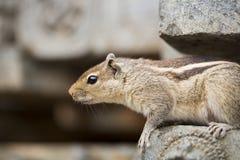 Sluit omhoog van een nieuwsgierige Bruine Indische Eekhoorn Stock Fotografie