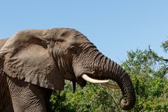 Sluit omhoog van een Olifant die en zich op takken bevinden eten Stock Afbeelding