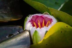 Sluit omhoog van een Ontluikende Roze Waterlelie van Nymphaea Nouchali royalty-vrije stock fotografie