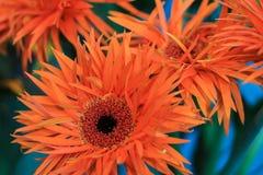 Sluit omhoog van een oranje gerbera met rode en gele stamens in royalty-vrije stock foto's