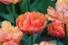 Sluit omhoog van een oranje tulp Stock Foto