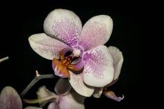 Sluit omhoog van een Orchidee Stock Afbeelding