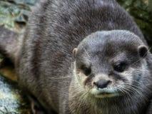 Sluit omhoog van een Otter droevig gezicht royalty-vrije stock foto