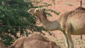 Sluit omhoog van een paar van dromedarius van Camelus van dromedariskamelen in de duinen van het woestijnzand van de V.A.E die er stock videobeelden