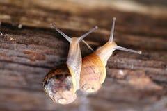 Sluit omhoog van een paar slakken Stock Fotografie