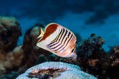 Sluit omhoog van een paucifasciatus van Kroon butterflyfish Chaetodon royalty-vrije stock foto