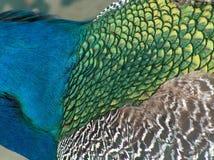 Sluit omhoog van een pauw stock afbeelding