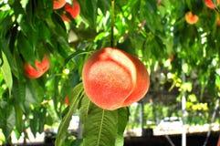 Sluit omhoog van een perzik op een boom Stock Afbeeldingen
