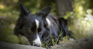 Sluit omhoog van een puppy van border collie-het ontspannen met de bal in het hout Royalty-vrije Stock Afbeelding