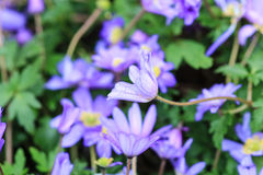 Sluit omhoog van een purpere bloem Royalty-vrije Stock Foto's