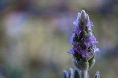 Sluit omhoog van een Purpere Lavendel tijdens de Lente Stock Afbeeldingen