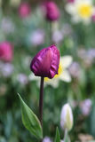 Sluit omhoog van een purpere tulp Royalty-vrije Stock Afbeeldingen