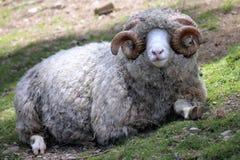 Sluit omhoog van een Ram van Dorset Royalty-vrije Stock Afbeeldingen