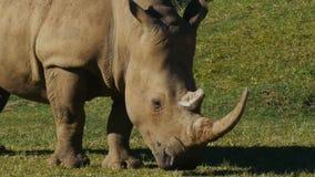 Sluit omhoog van een Rinoceros stock video