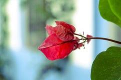Sluit omhoog van een rode bloem royalty-vrije stock foto's