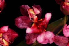 Sluit omhoog van een rode orchideebloem Stock Foto