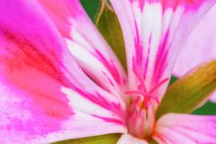 Sluit omhoog van een roze geranium stock afbeeldingen