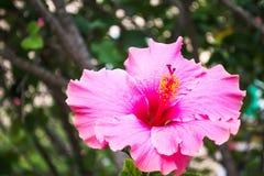 Sluit omhoog van een roze hibiscus royalty-vrije stock fotografie