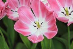 Sluit omhoog van een roze tulp Stock Foto's