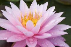 Sluit omhoog van een roze waterlelie met waterdaling Stock Foto's
