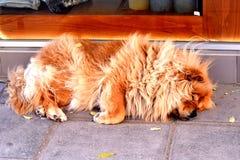 Sluit omhoog van een slaaphond op een weg/een rode chow-chow Stock Foto's