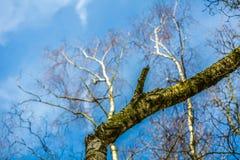 Sluit omhoog van een tak van een boom met mos en bomen zonder bladeren met een schitterende blauwe hemel royalty-vrije stock afbeelding