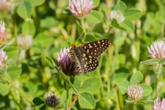 Sluit omhoog van een veranderlijke checkerspotvlinder het drinken nectar van een roze klaver wildflower, Napa-Vallei, Californië royalty-vrije stock foto's