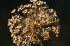 Sluit omhoog van een vernietigde bloem van Alliumcristophii Royalty-vrije Stock Afbeeldingen