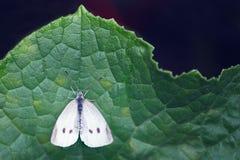 Sluit omhoog van een vlinder Stock Afbeelding