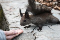 Sluit omhoog van een vriendschappelijke bruine eekhoorn dichtbij een hand royalty-vrije stock afbeelding